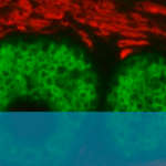 New Double-staining Kit Streamlines Immunofluorescence Workflow